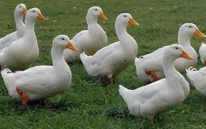 Премикс 1% для водоплавающей птицы