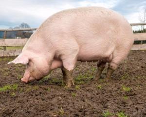 Премікс 1% для свиней фініш