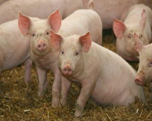 Премікс 1% для свиней (гровер)