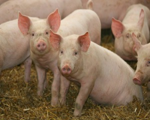 Премикс 1% для свиней (гровер)