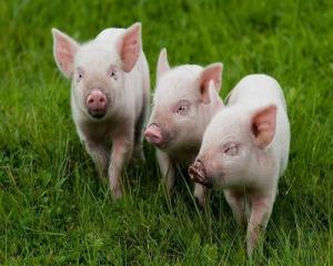 Мінеральний комплекс для свиней 0,07%